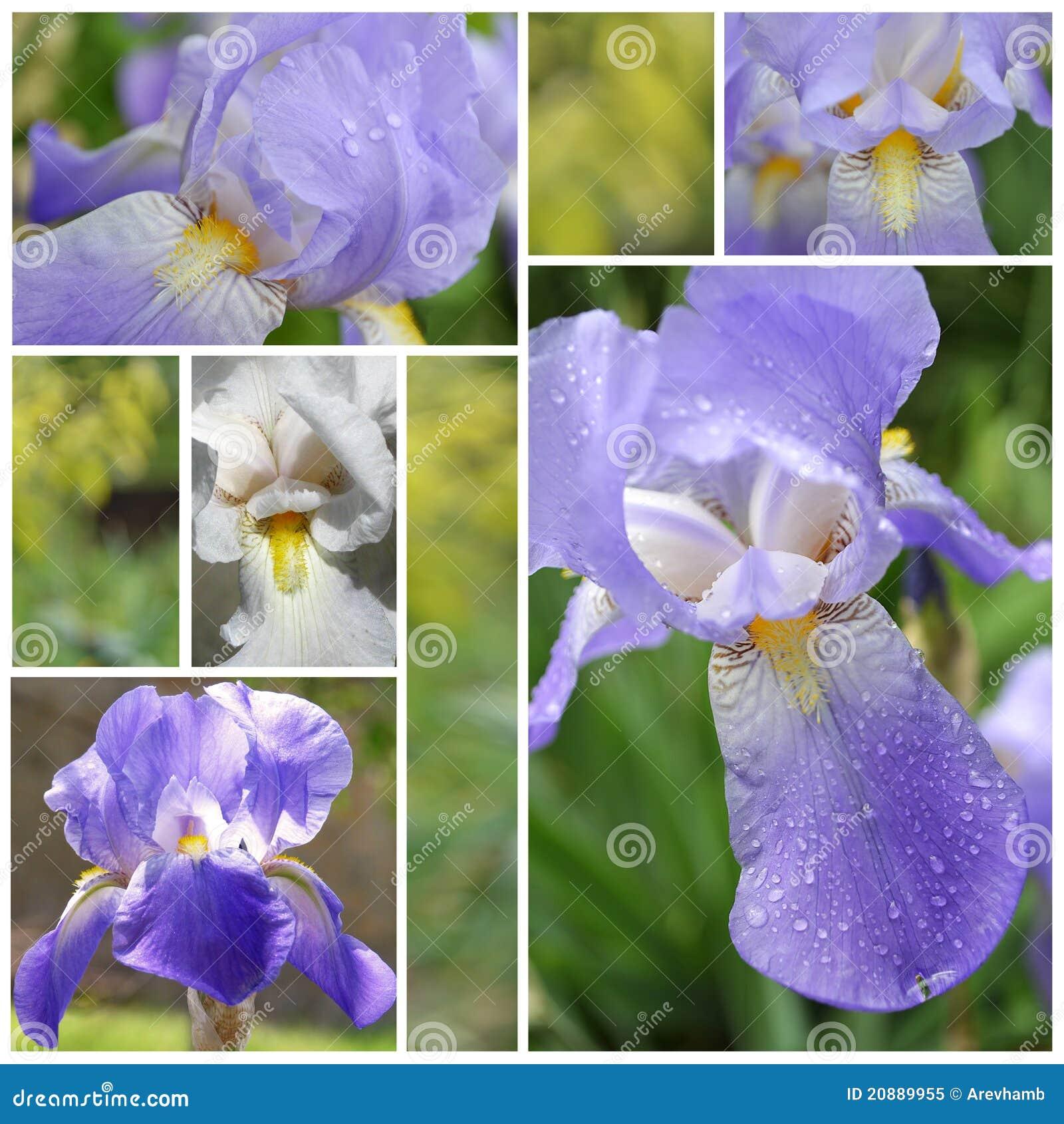 Collage From Iris Flowers Stock Illustration Illustration Of Photos