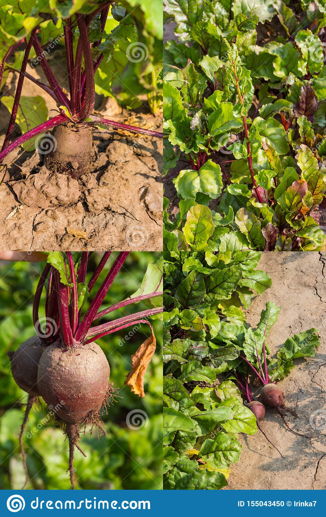 Collage, red beet roots growing in the garden