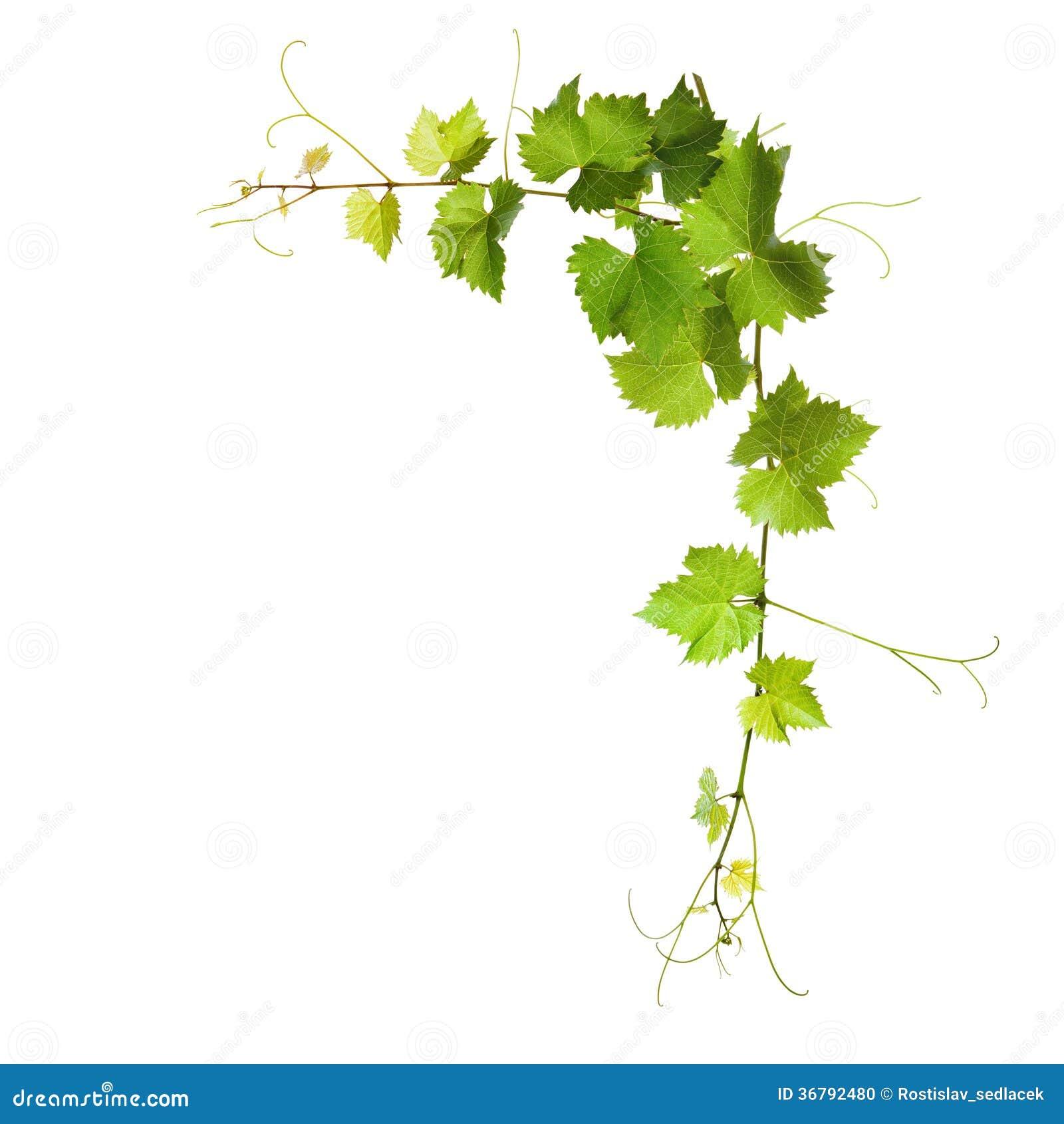 how to prepare vine leaves