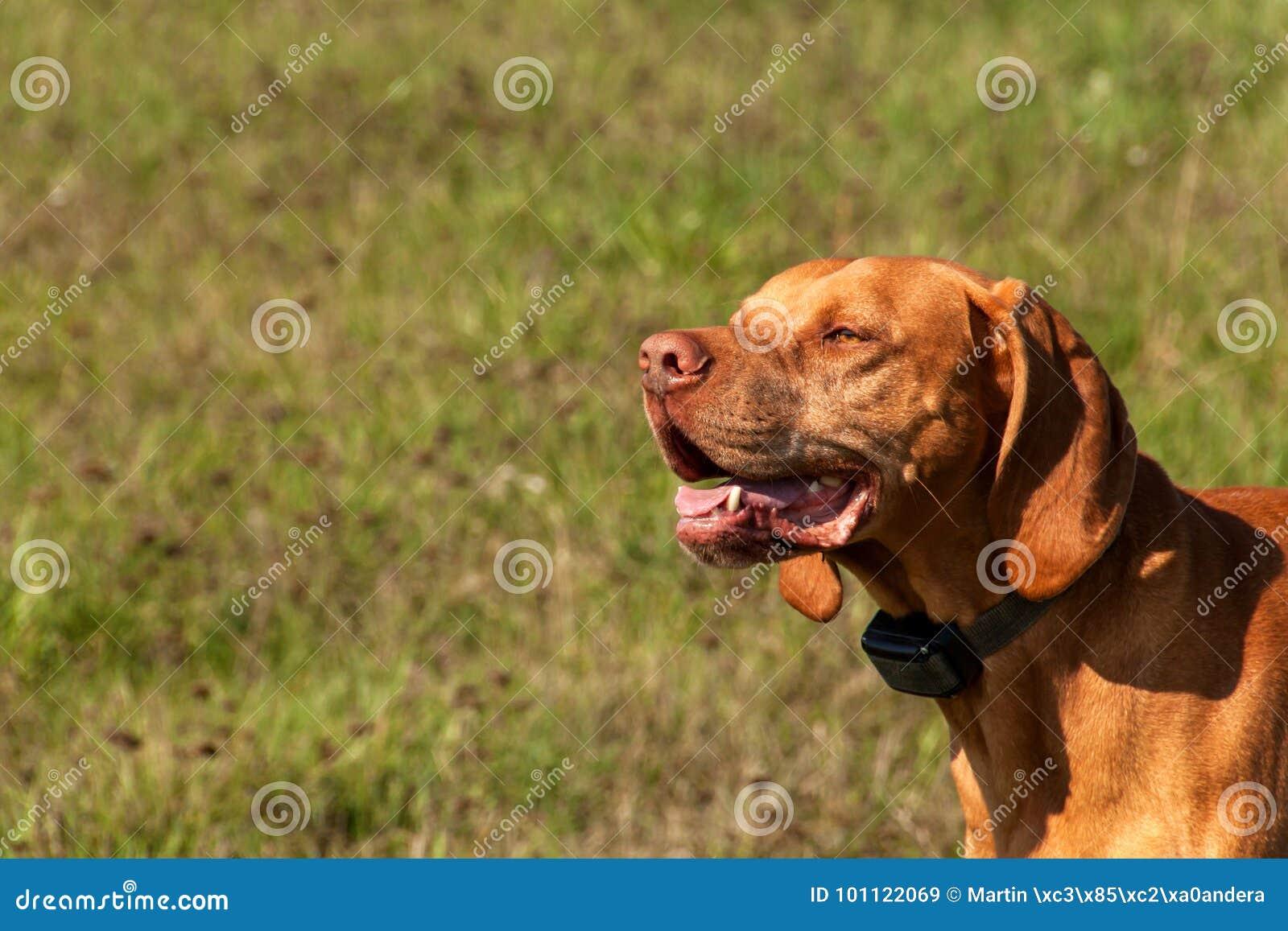 Collare Elettronico Di Addestramento Per Il Cane Caccia Ungherese