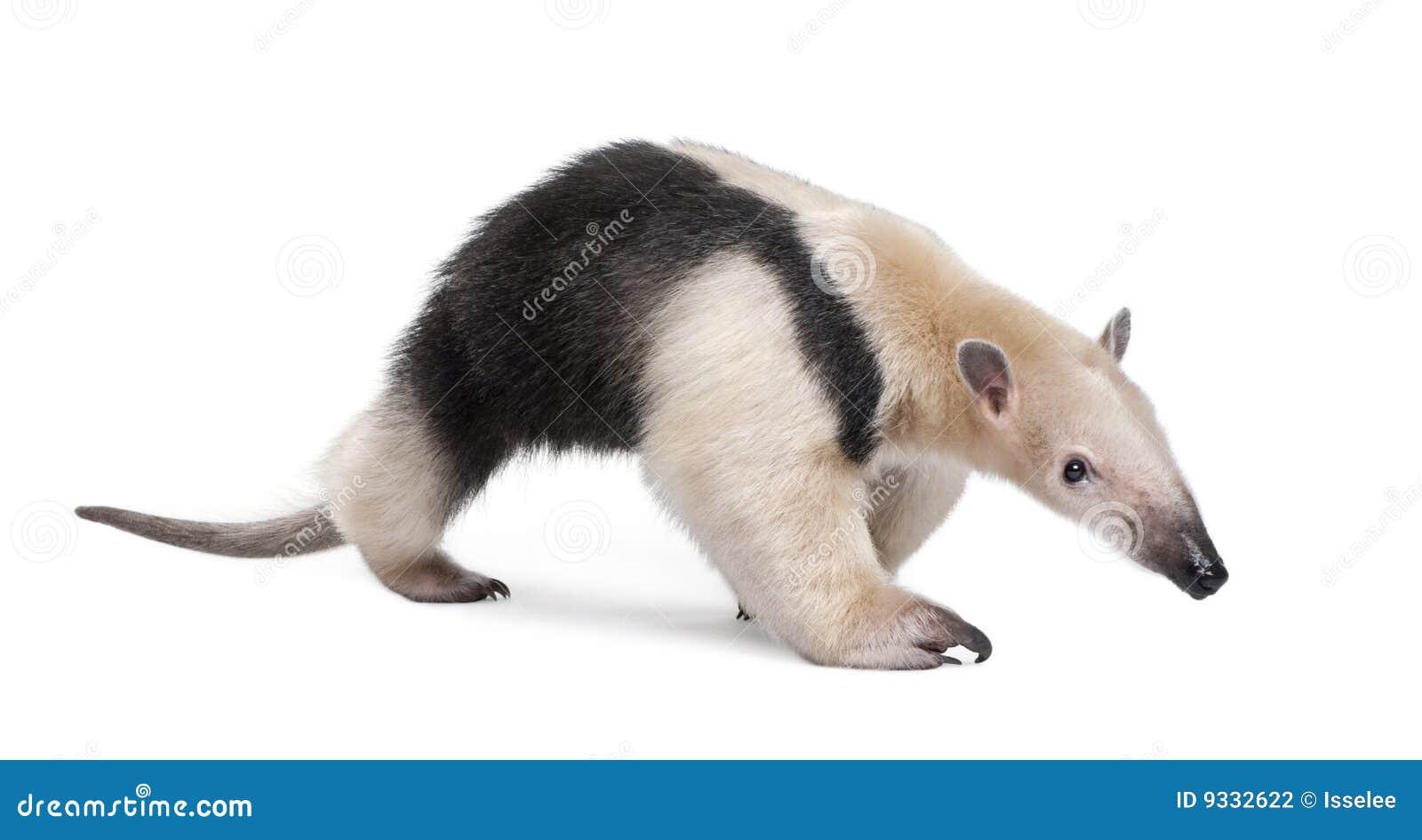 Collared Anteater - Tamandua Tetradactyla Stock Photography - Image ...