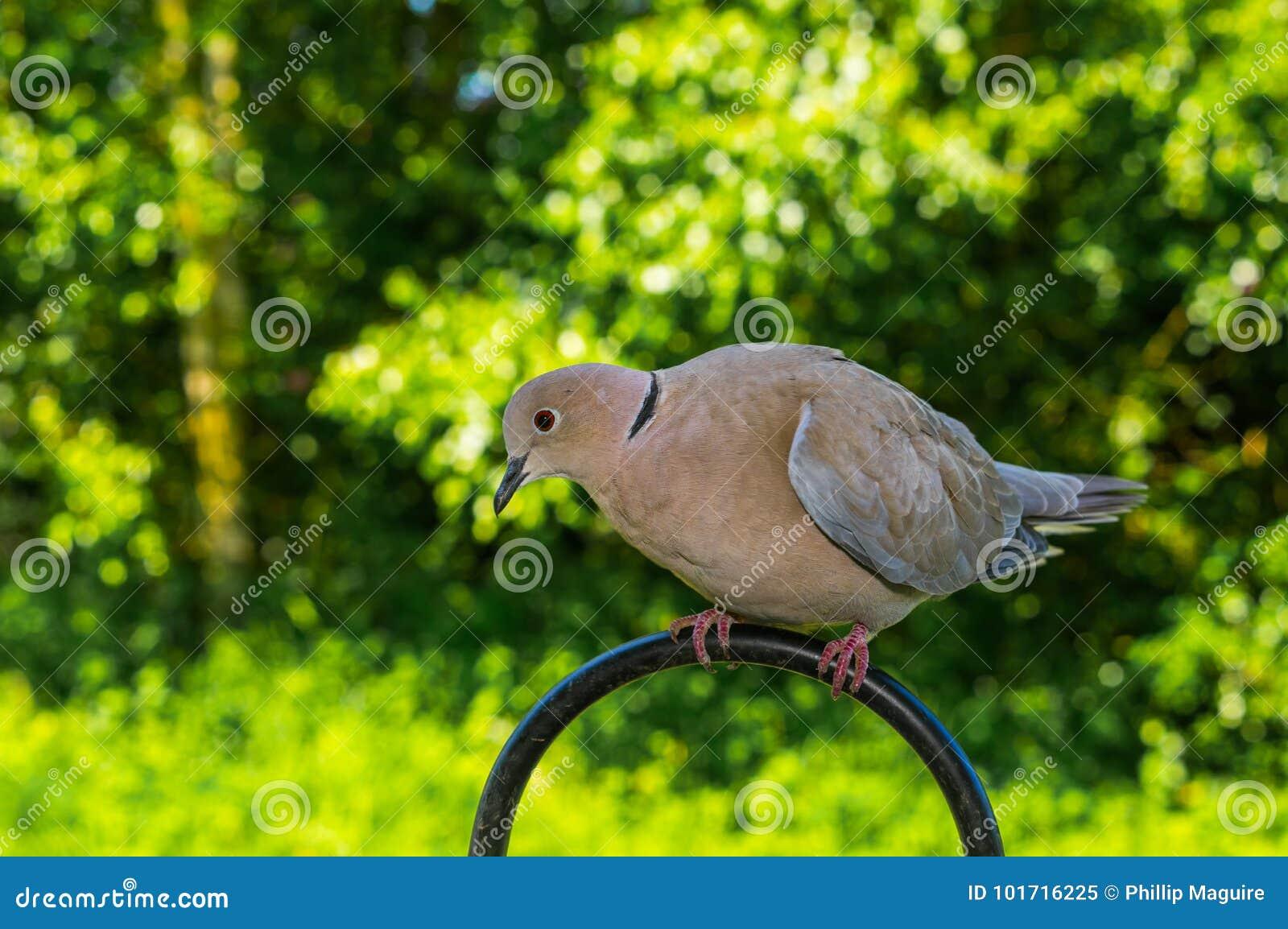 Collared Dove in garden stock image  Image of avian - 101716225