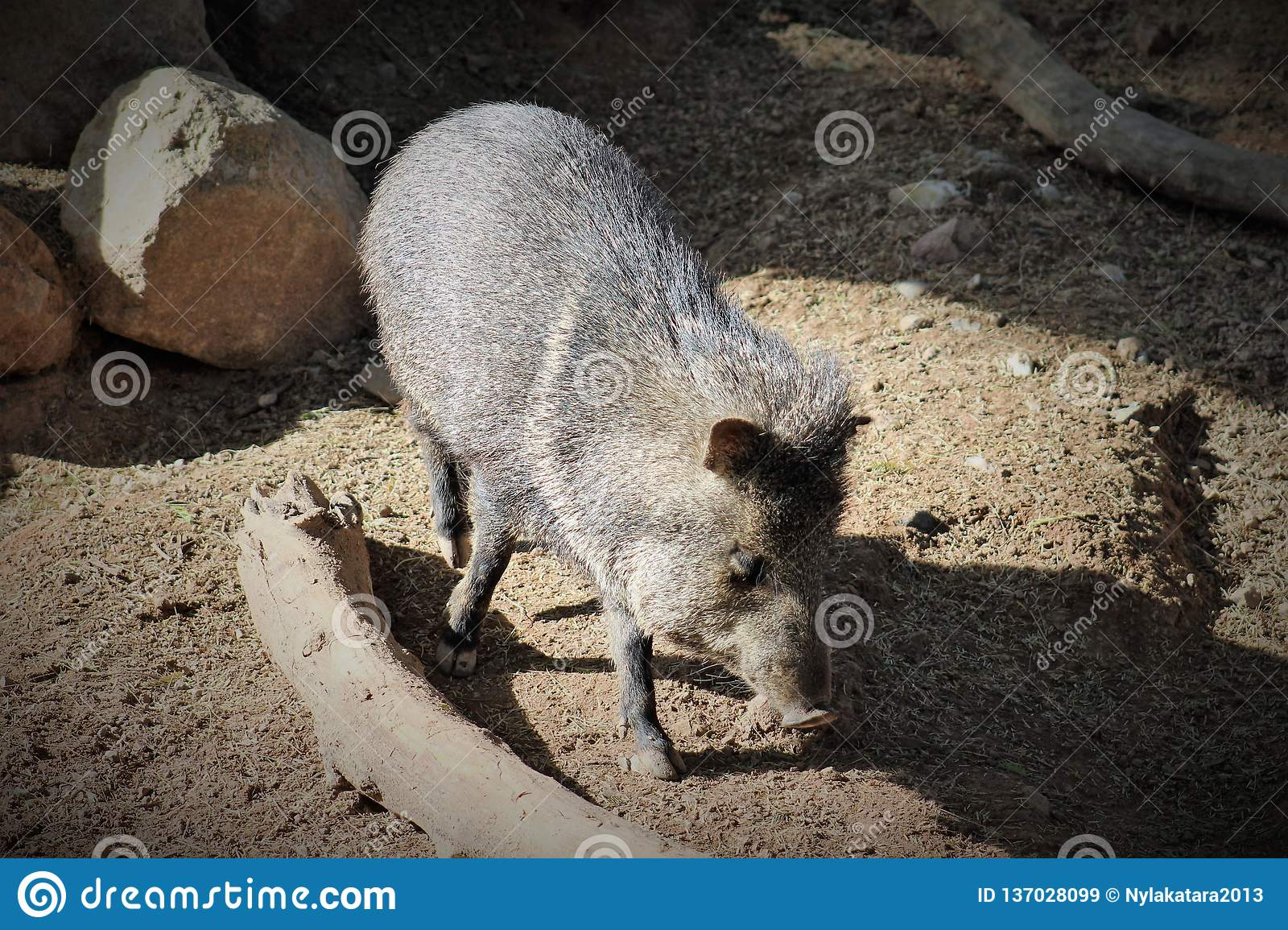 Collared Peccary At The Phoenix Zoo, Located In Phoenix