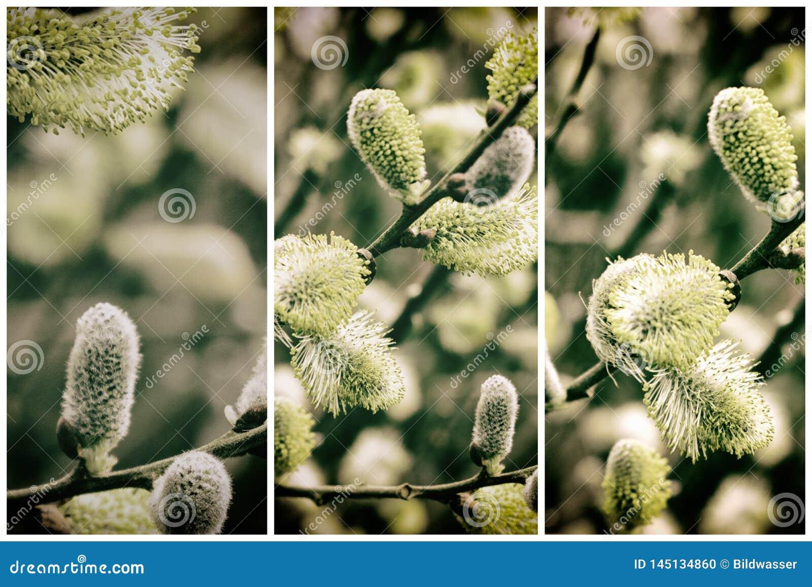 Colleciton de Willow Catkins Branch en primavera