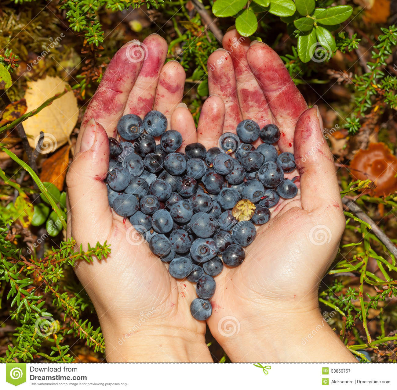 Collect Berries Blueberries In The Forest Royalty Free