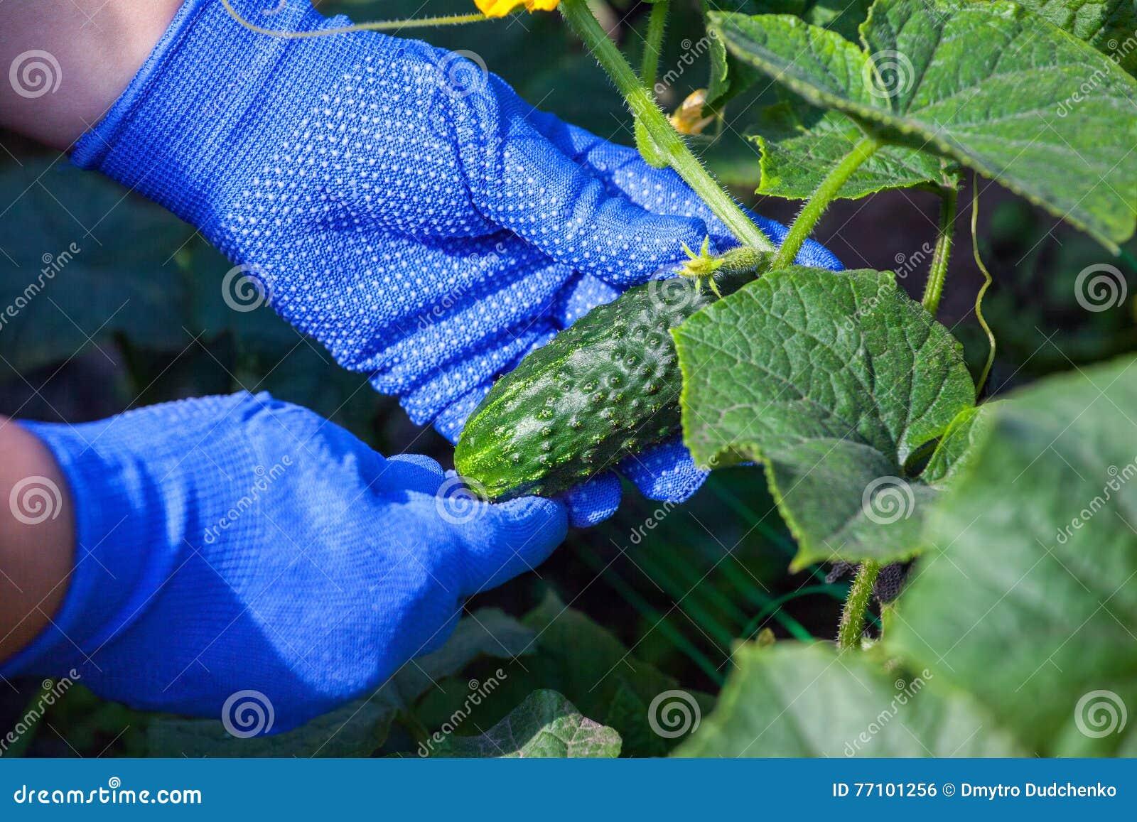 Collecte de la récolte des concombres
