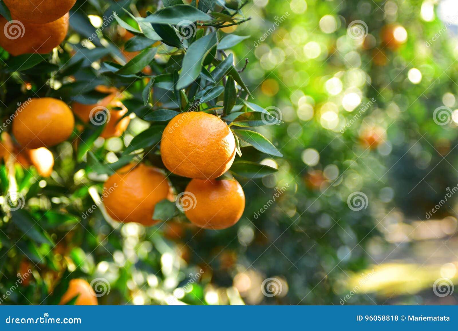 Collecte de mandarines dans le verger
