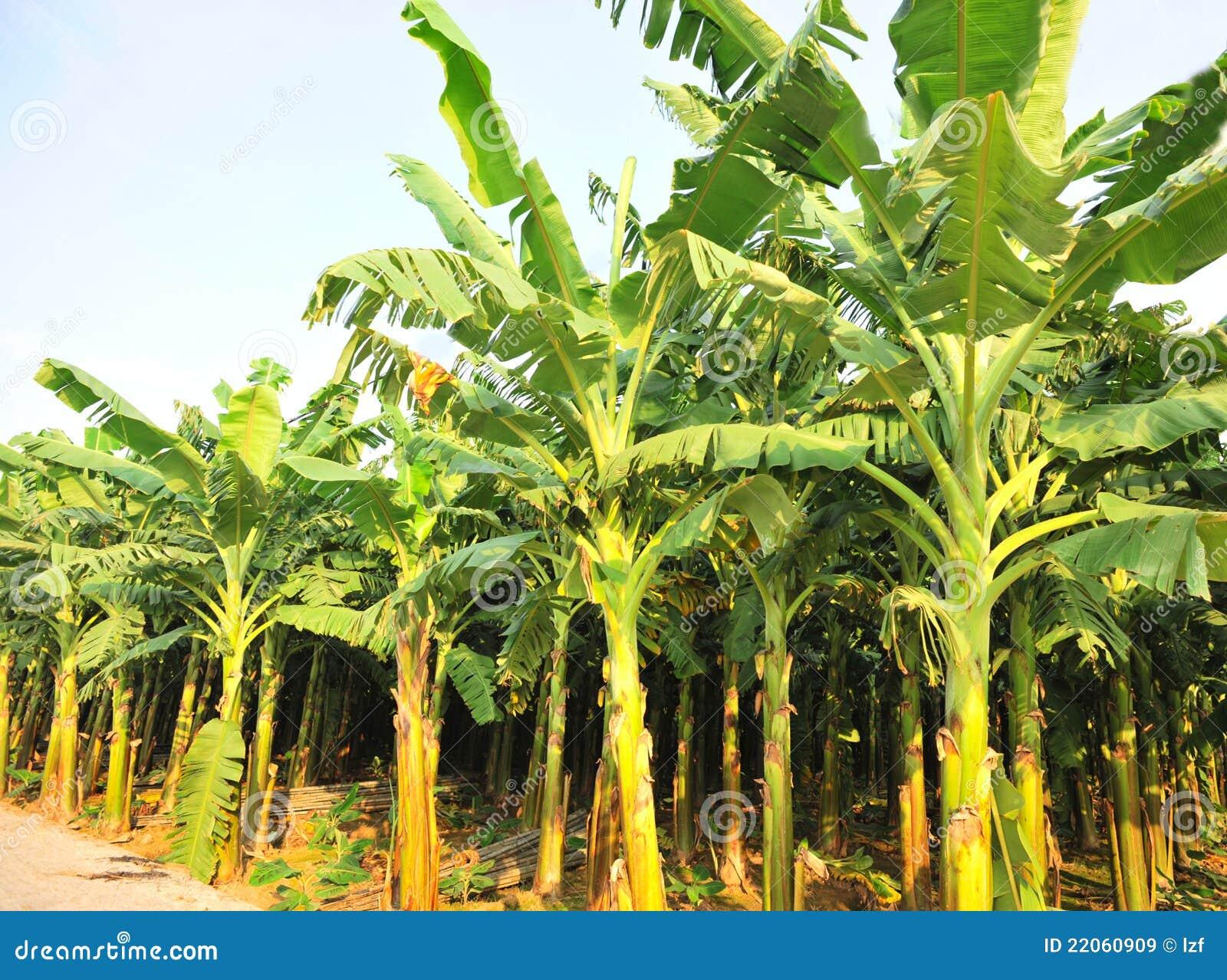 Collectes de banane