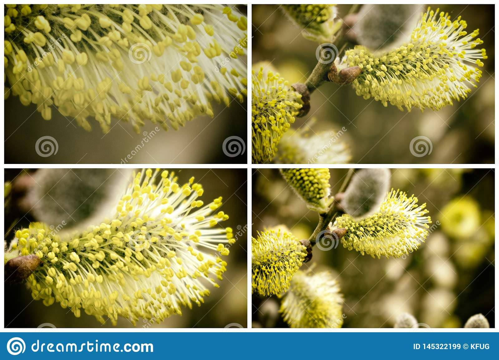 Collection of Beautiful Catkins Blossom in Springtime. Easter Time