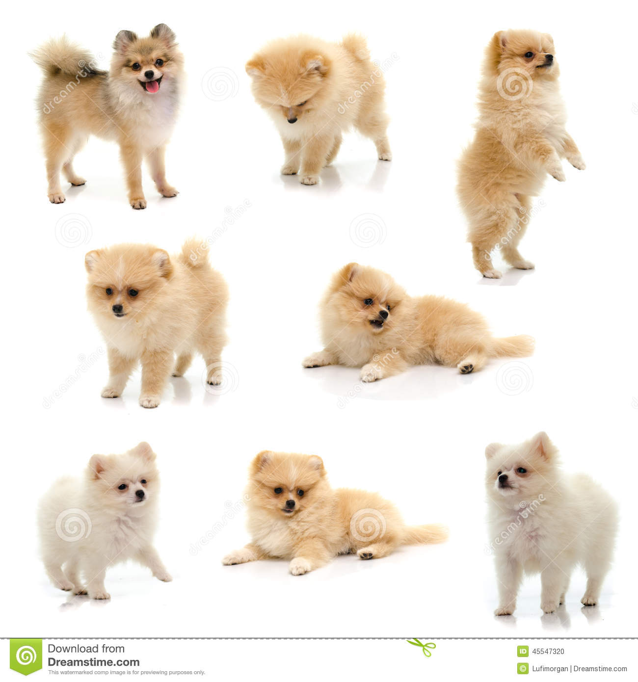 Collection Of Black Tan Pomeranian Puppy On White Background Stock Photo Image 45547320
