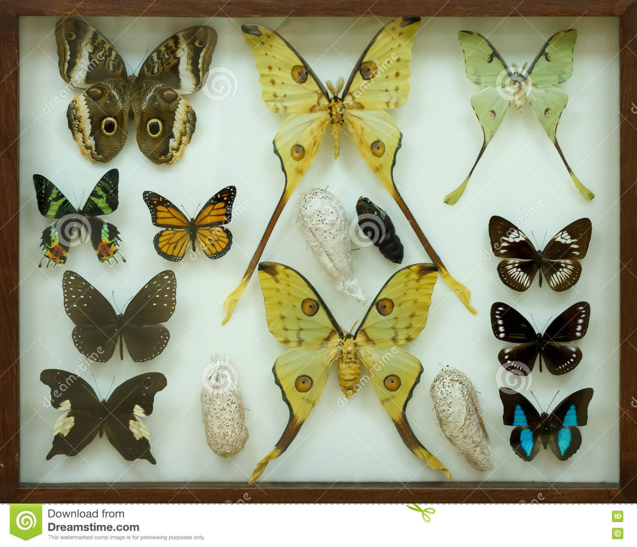 24c2086efa737 Collection Of Butterflies Under Glass. Stock Photo - Image of field ...