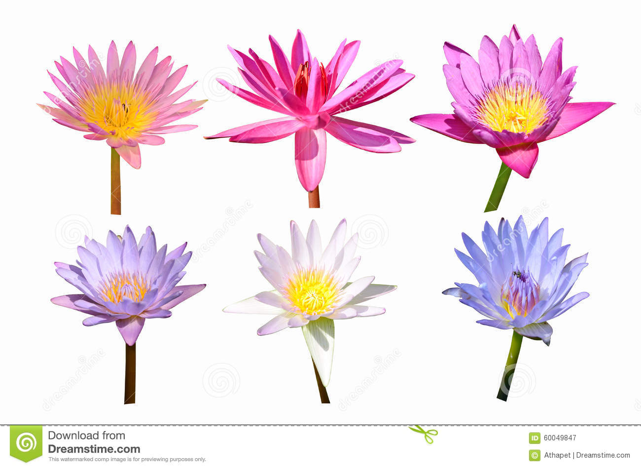 Collection Of Color Water Lily Flowers Stock Image Image Of Beauty