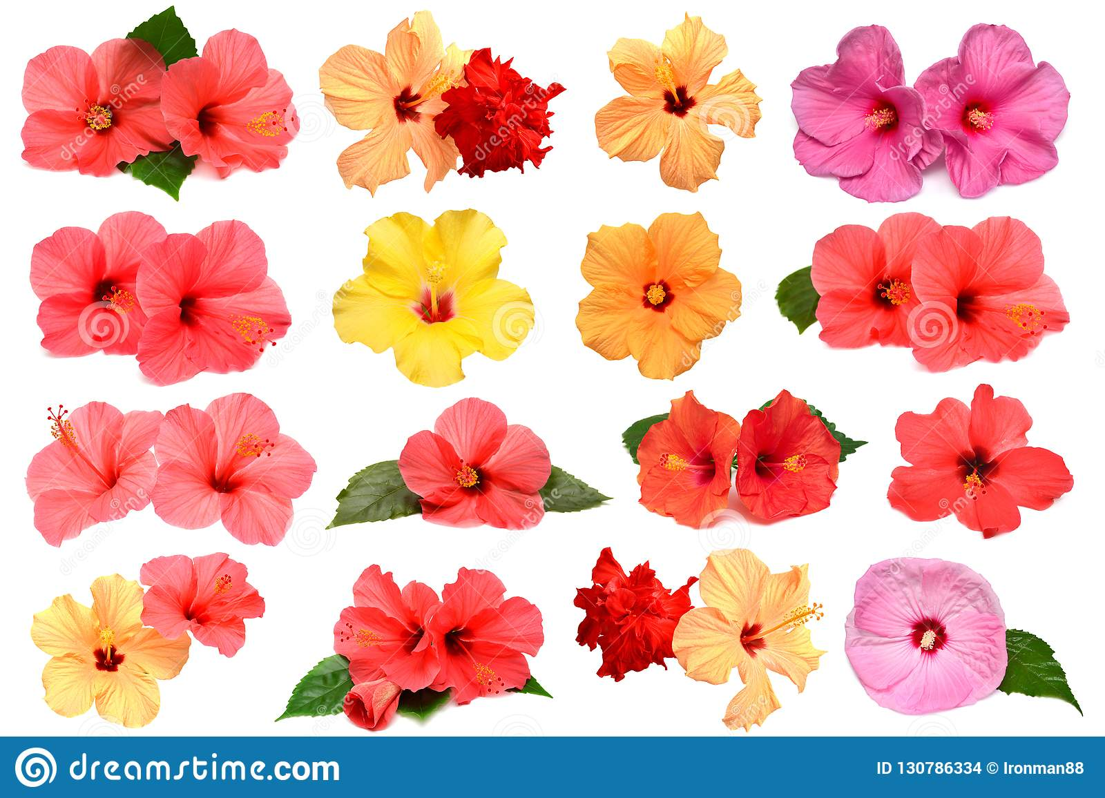 Collection Of Colored Hibiscus Flowers With Leaves Stock Photo