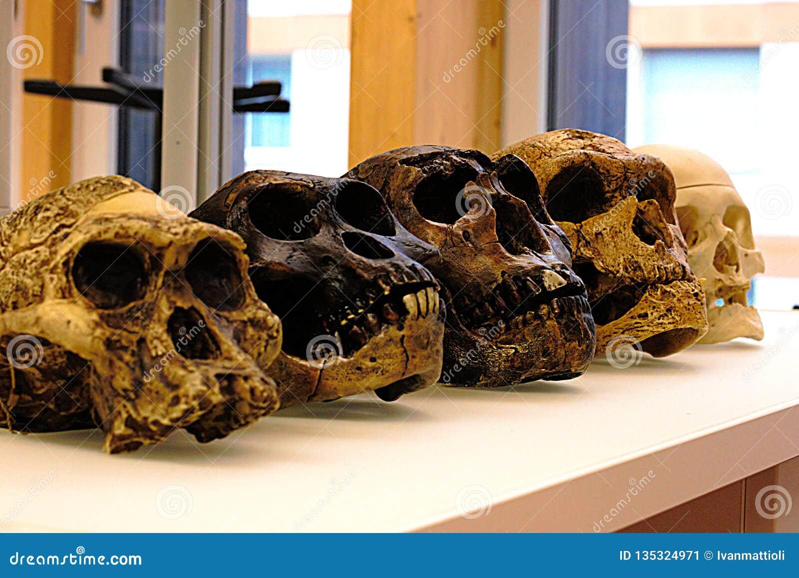 Collection de la reproduction de crâne des ancêtres humains - évolution humaine
