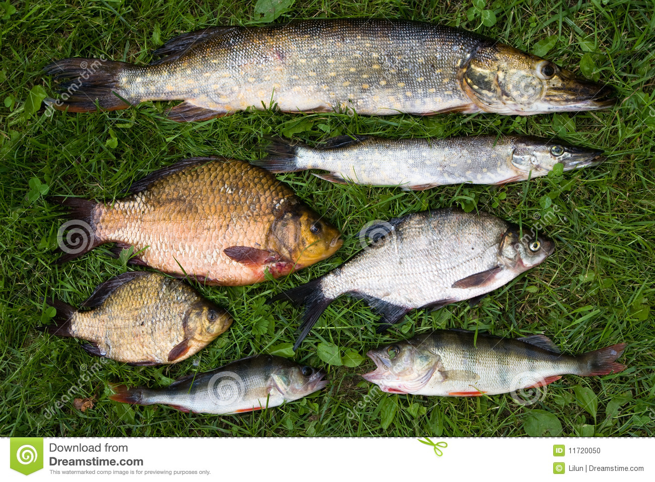 Collection of fish stock photo image 11720050 for H and m fish count