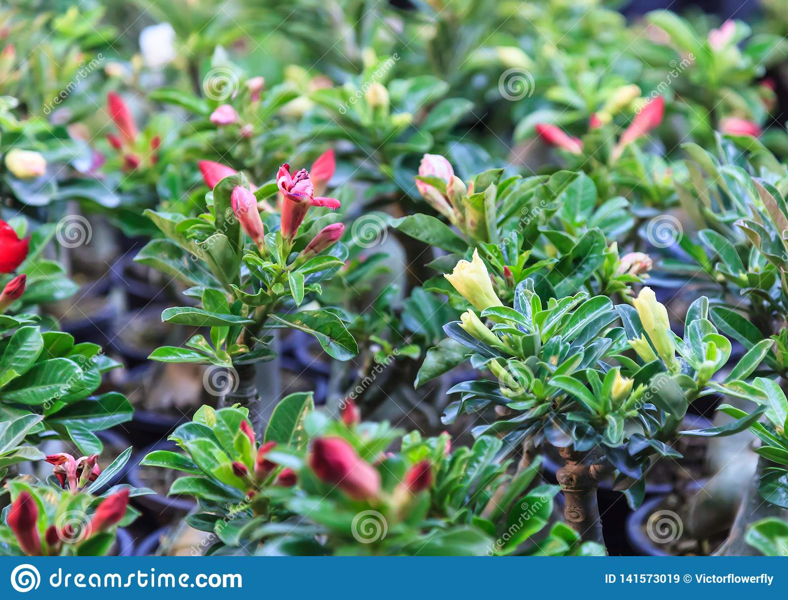 Collection of Fresh Adenium Bignonia, Desert Rose, Japanese Frangipani Flowering Plants in Pots with Colorful Blossoming Flowers