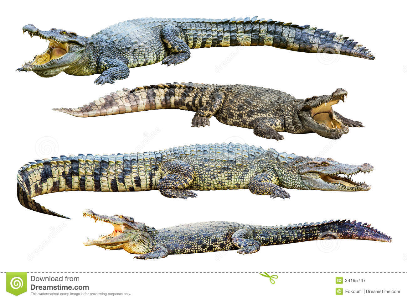 crocodile isolated on whi  Crocodile