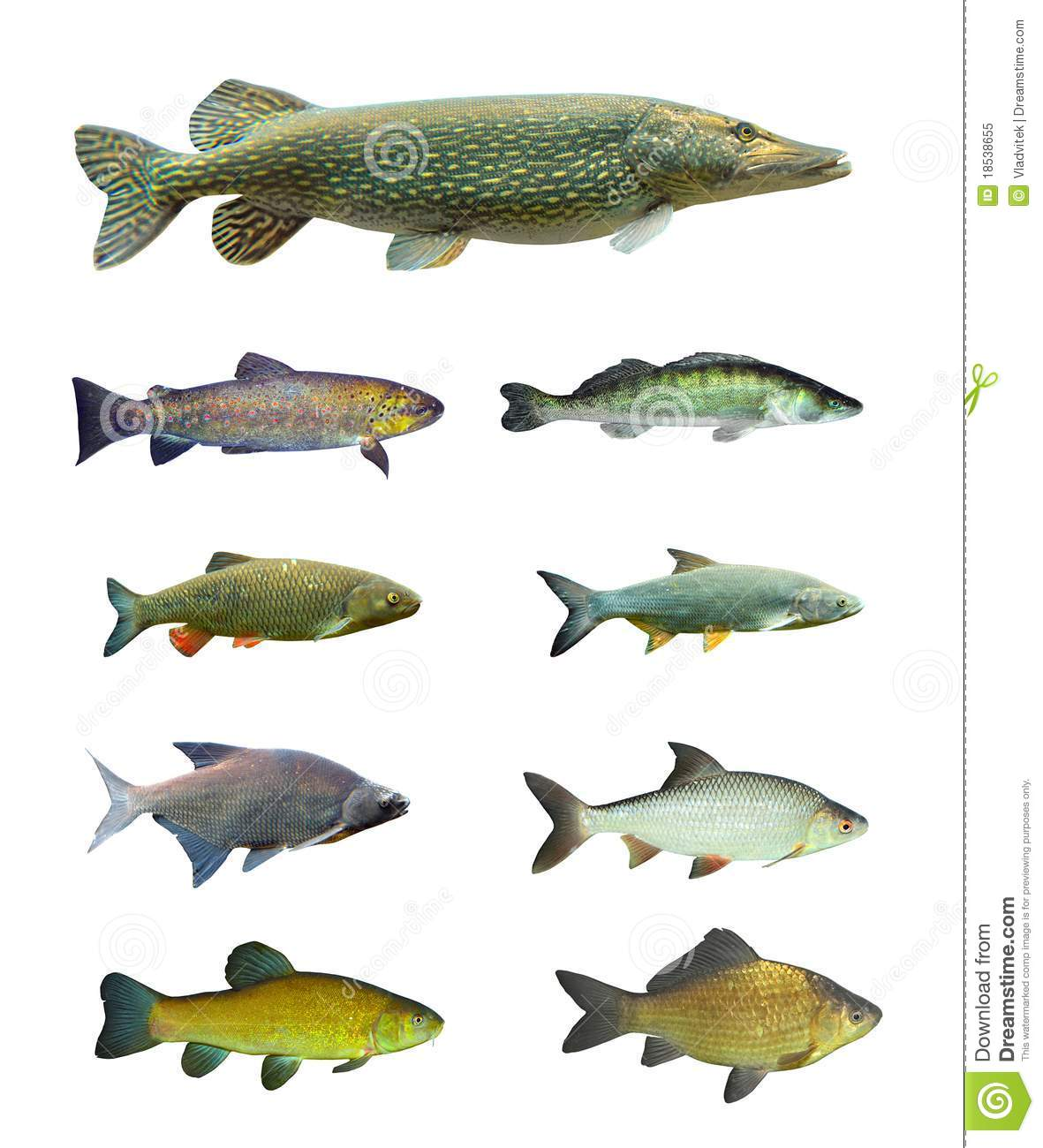 Collection grande d 39 un poisson d 39 eau douce photo libre de for Poisson eau douce