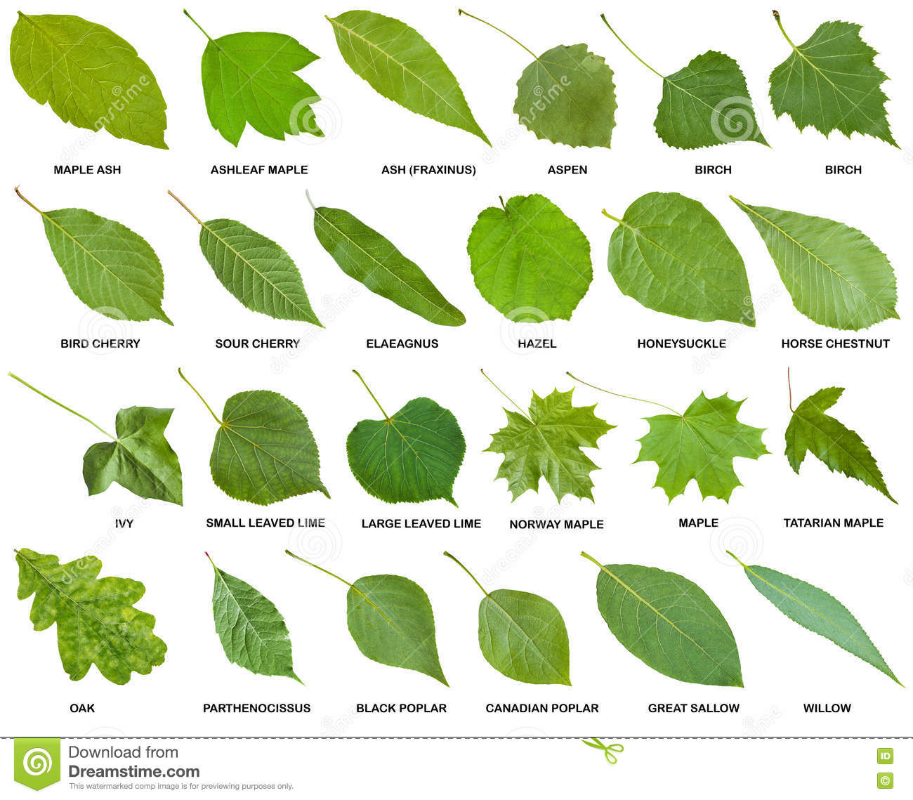 Collection Of Green Leaves Of Trees With Names Stock Photo Image Of Fraxinus Cherry 77216572