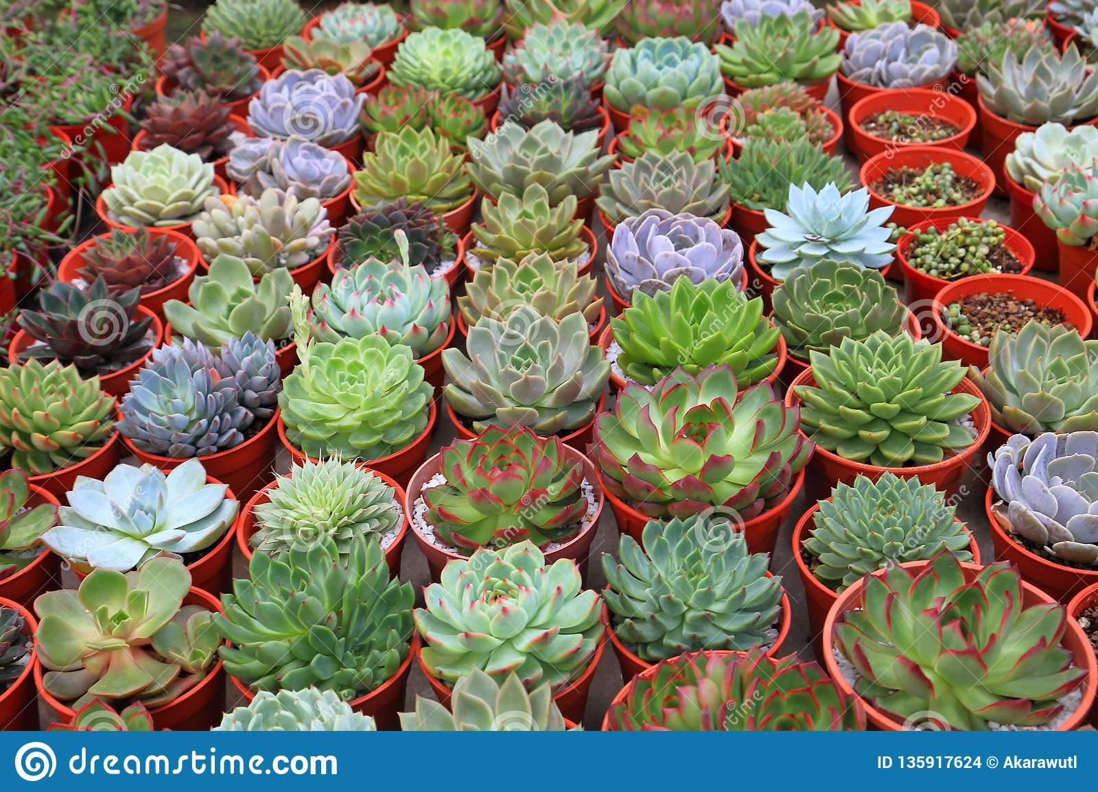 Collection Of Healthy Decorative Succulent Top View In Greenhouse Garden  For Limited Space Urban Gardening Design