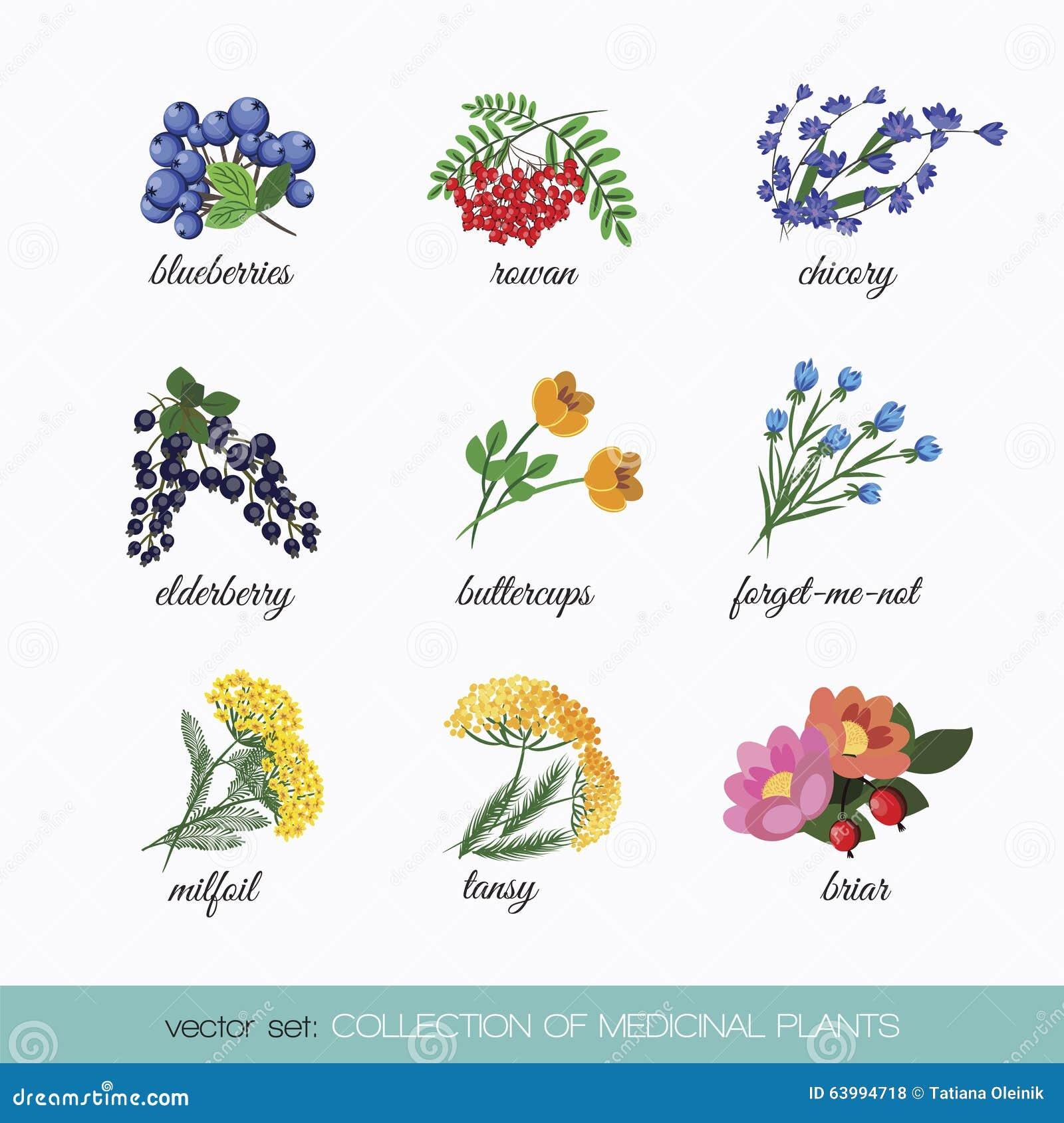 Collection of medicinal plants 5 stock vector image for 5 nombres de plantas ornamentales