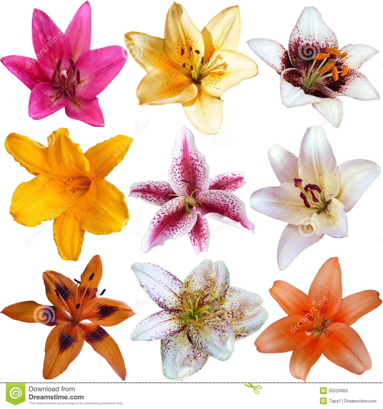 Collection Of Nine Different Lily Flowers Stock Image Image Of