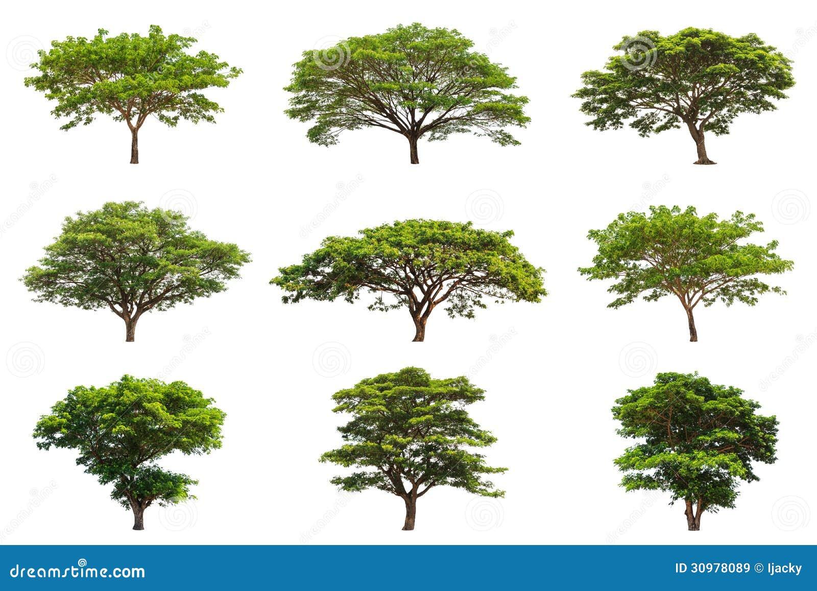 Collection Of Rain Trees Samanea Saman Royalty Free