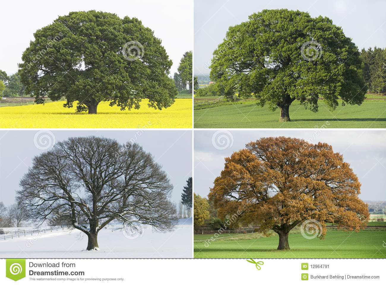 collection of single oak tree in four seasons stock image. Black Bedroom Furniture Sets. Home Design Ideas