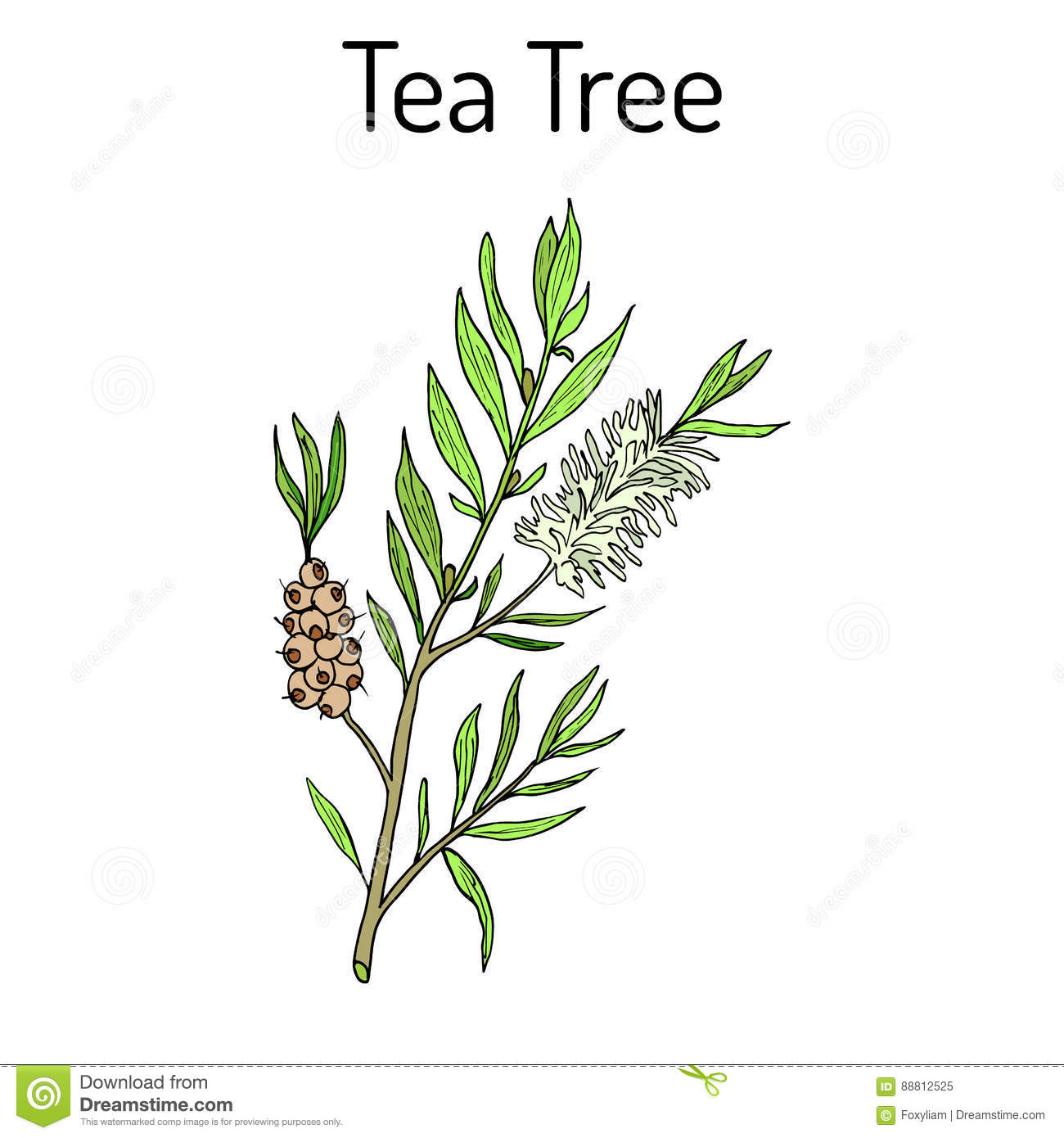 Download Collection Of Tea Tree Cosmetics And Medical Plant Hand Drawn Stock Vector