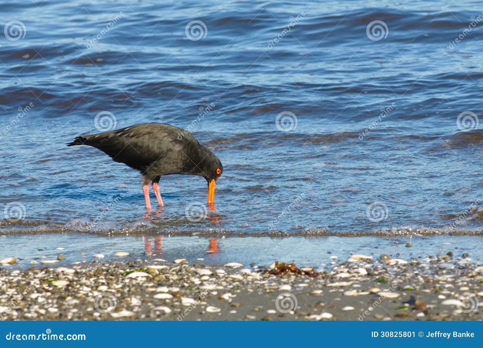 Collettore di ostrica della Nuova Zelanda