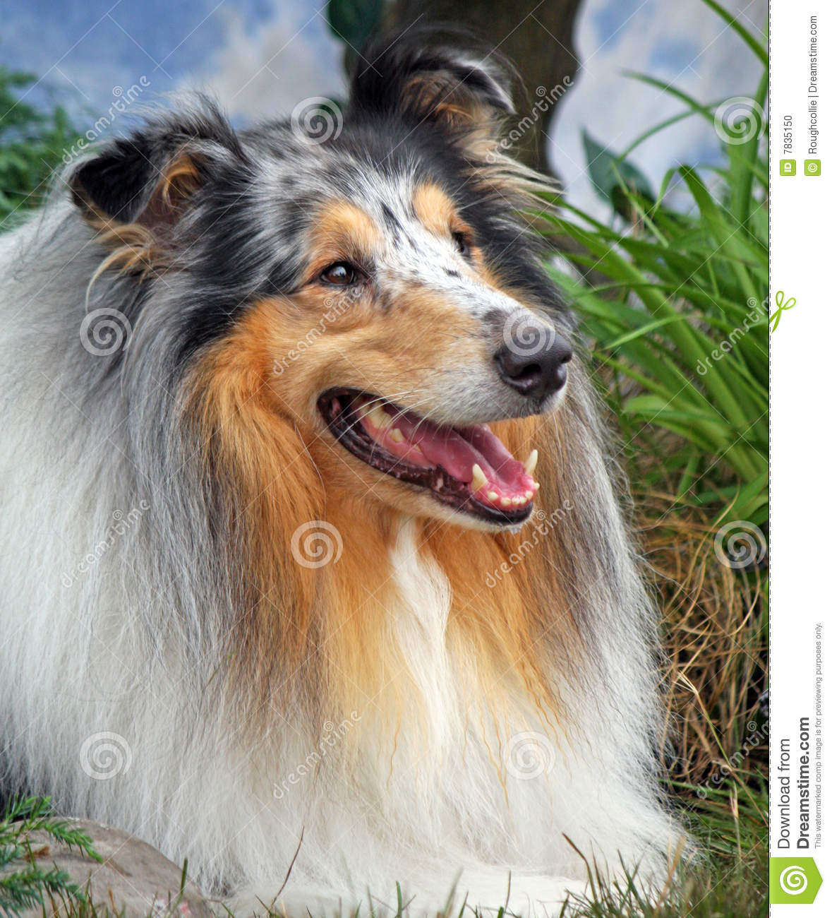 Collie áspero bonito