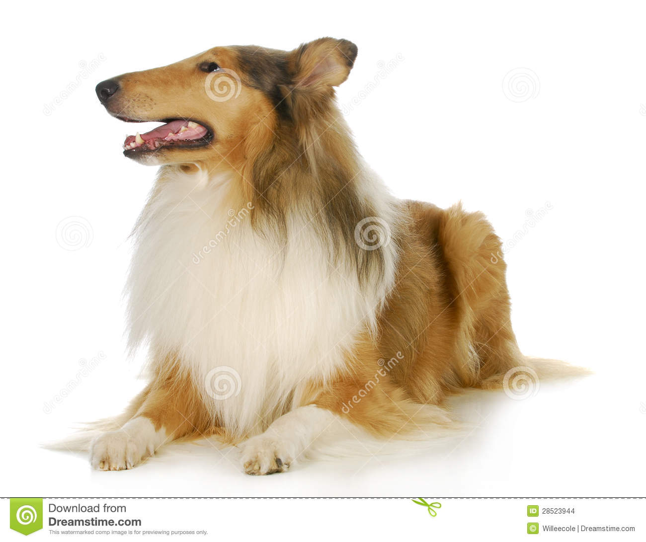 collie stock images image 28523944 clip art of dogs clip art of dogs running in pencil