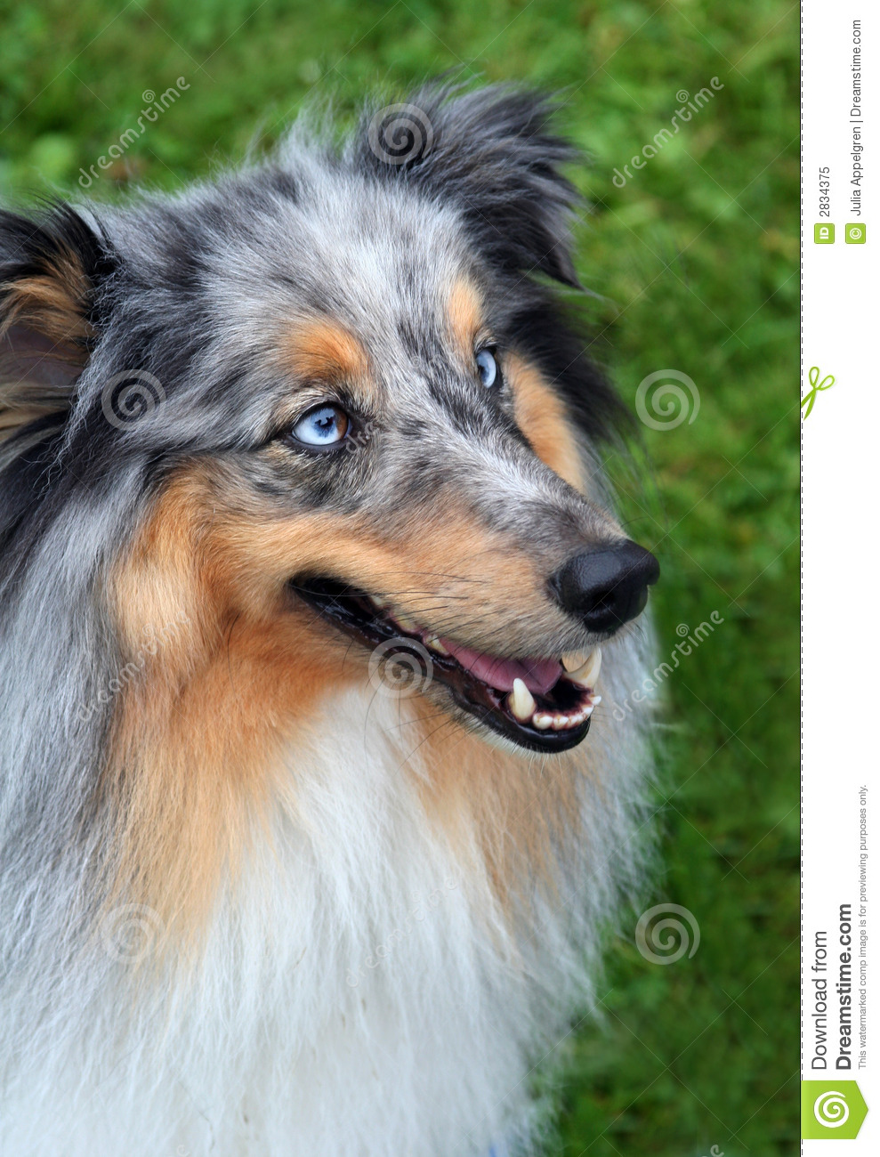 Collie with blue eyes stock image image of competition 2834375 - Husky con occhi diversi ...