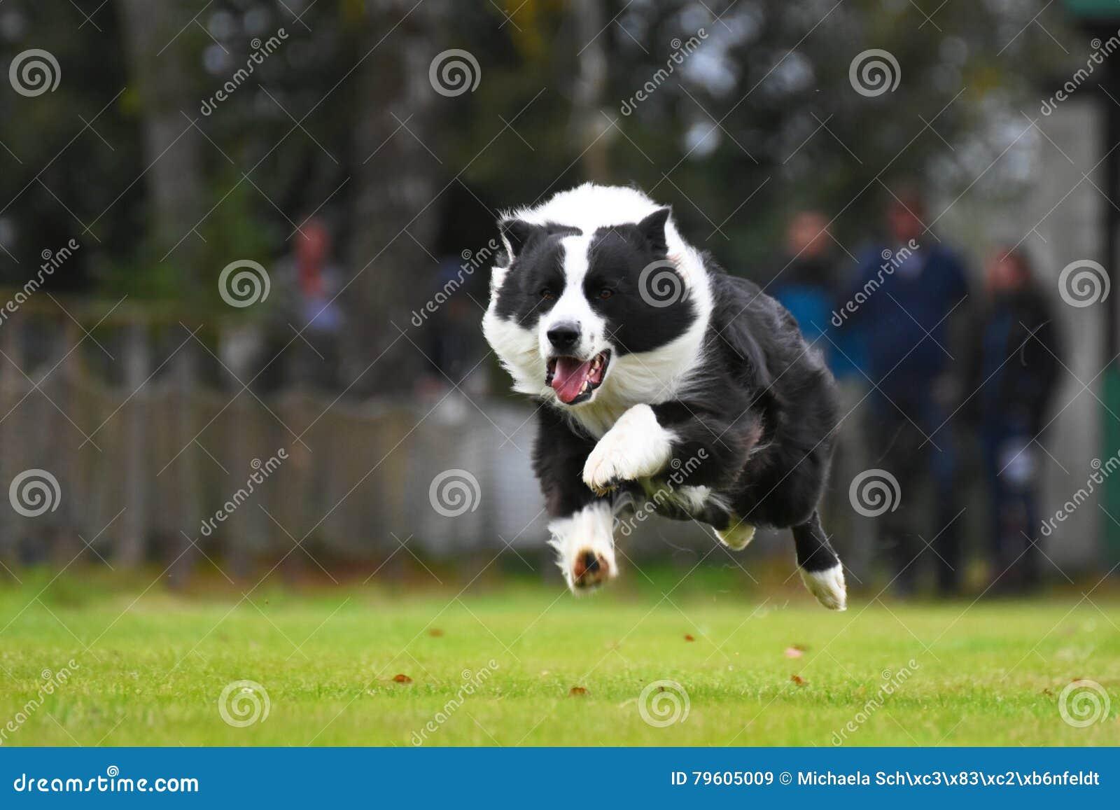 Collie de beira Running
