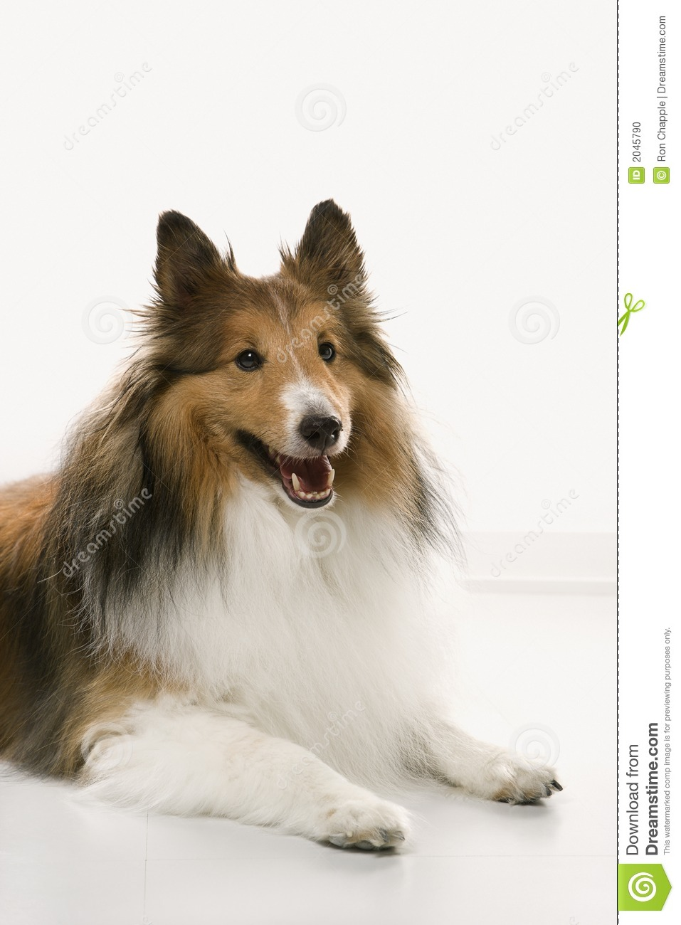 Collie dog. stock photo. Image of colour, down, breed ...