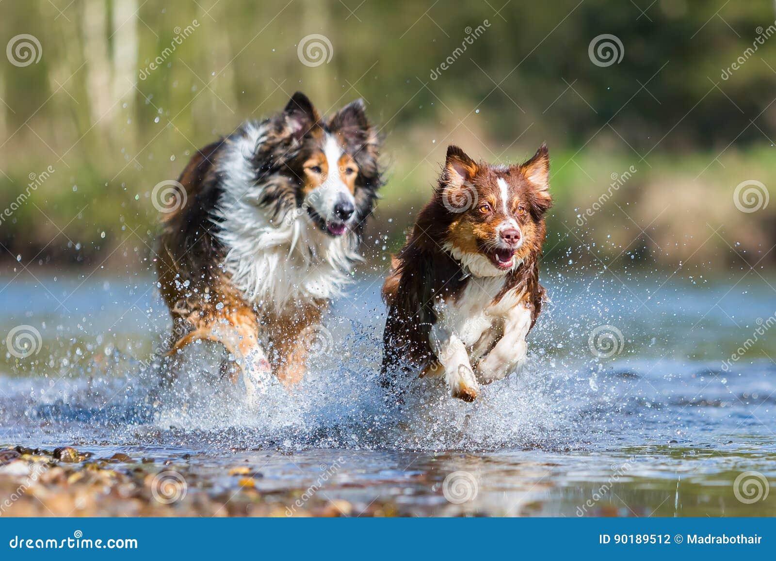 Collie-Mischungshund und australischer Schäfer, die in einen Fluss laufen