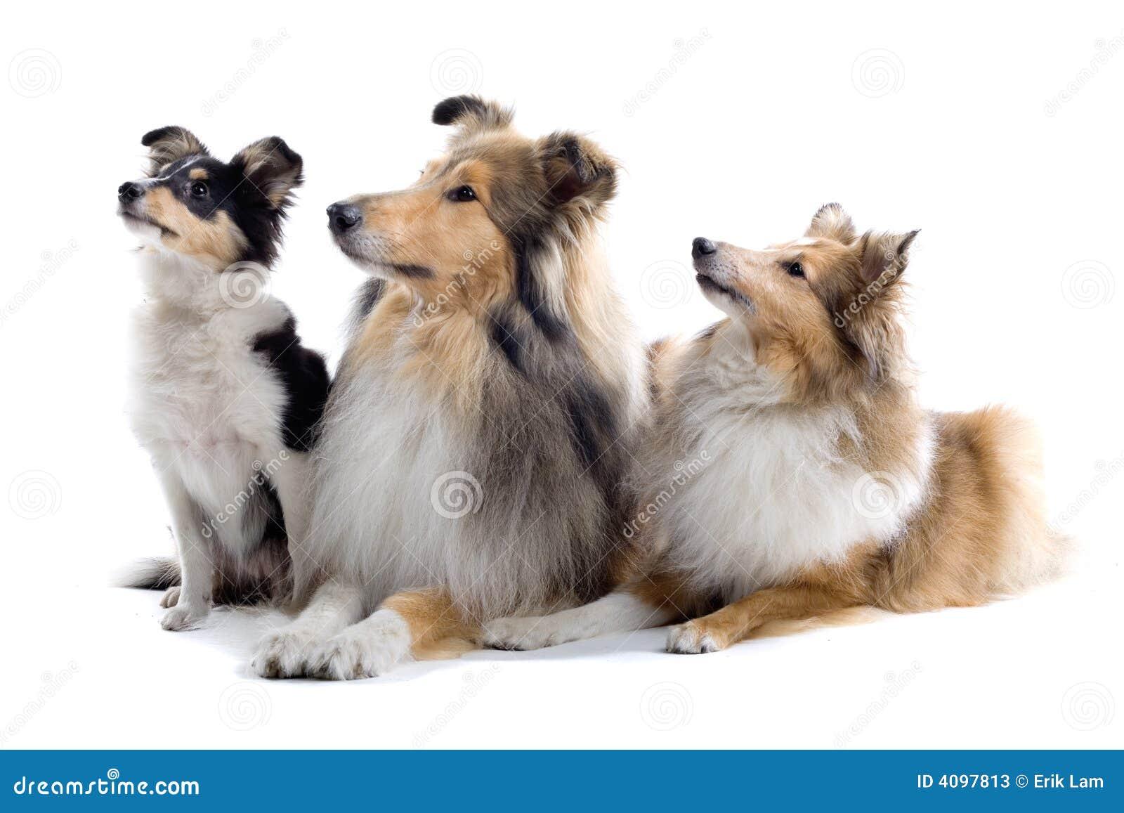 Collie psie szkocką