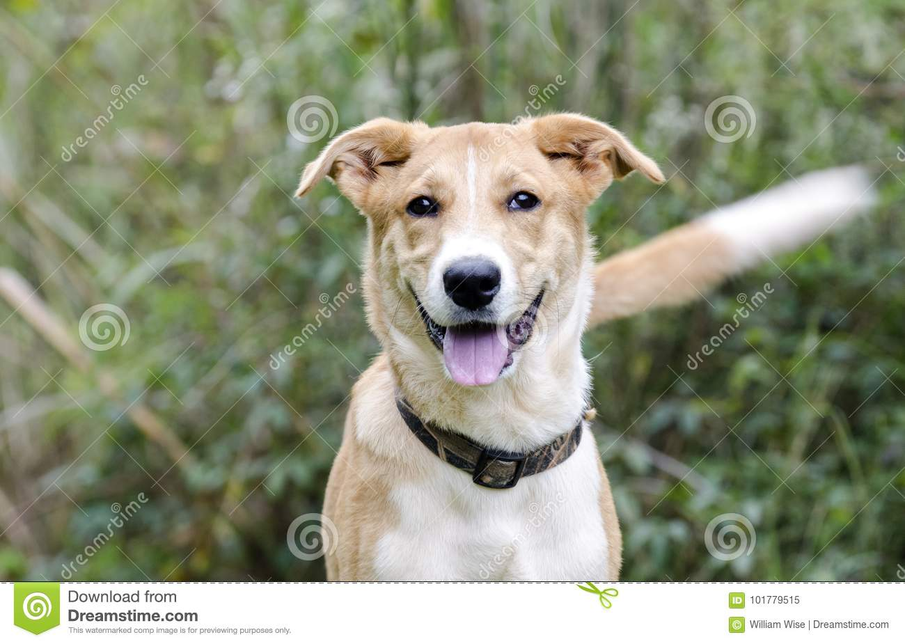 Collie Shepherd Mixed Breed Mutt Puppy Dog Wagging Tail Stock Image