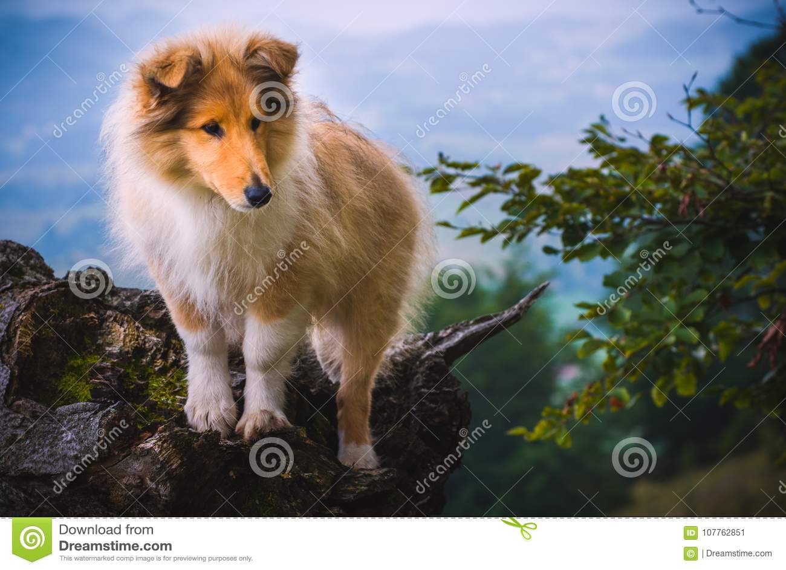 Colliehund
