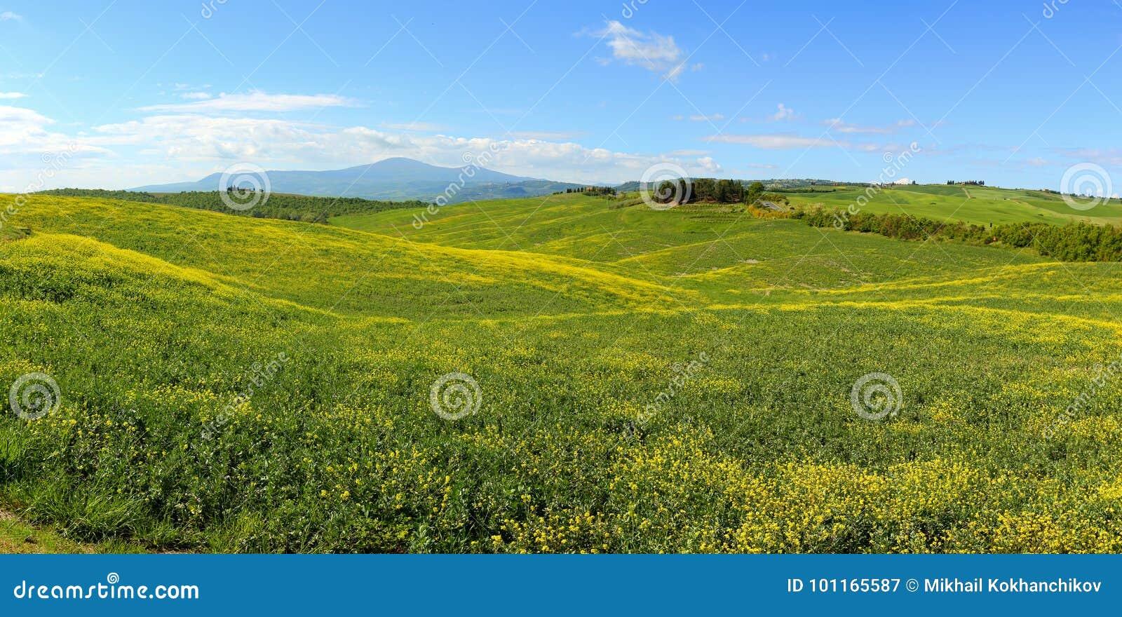 Fiori Gialli Toscana.Colline Della Toscana Con I Fiori Sui Campi Verdi Immagine Stock