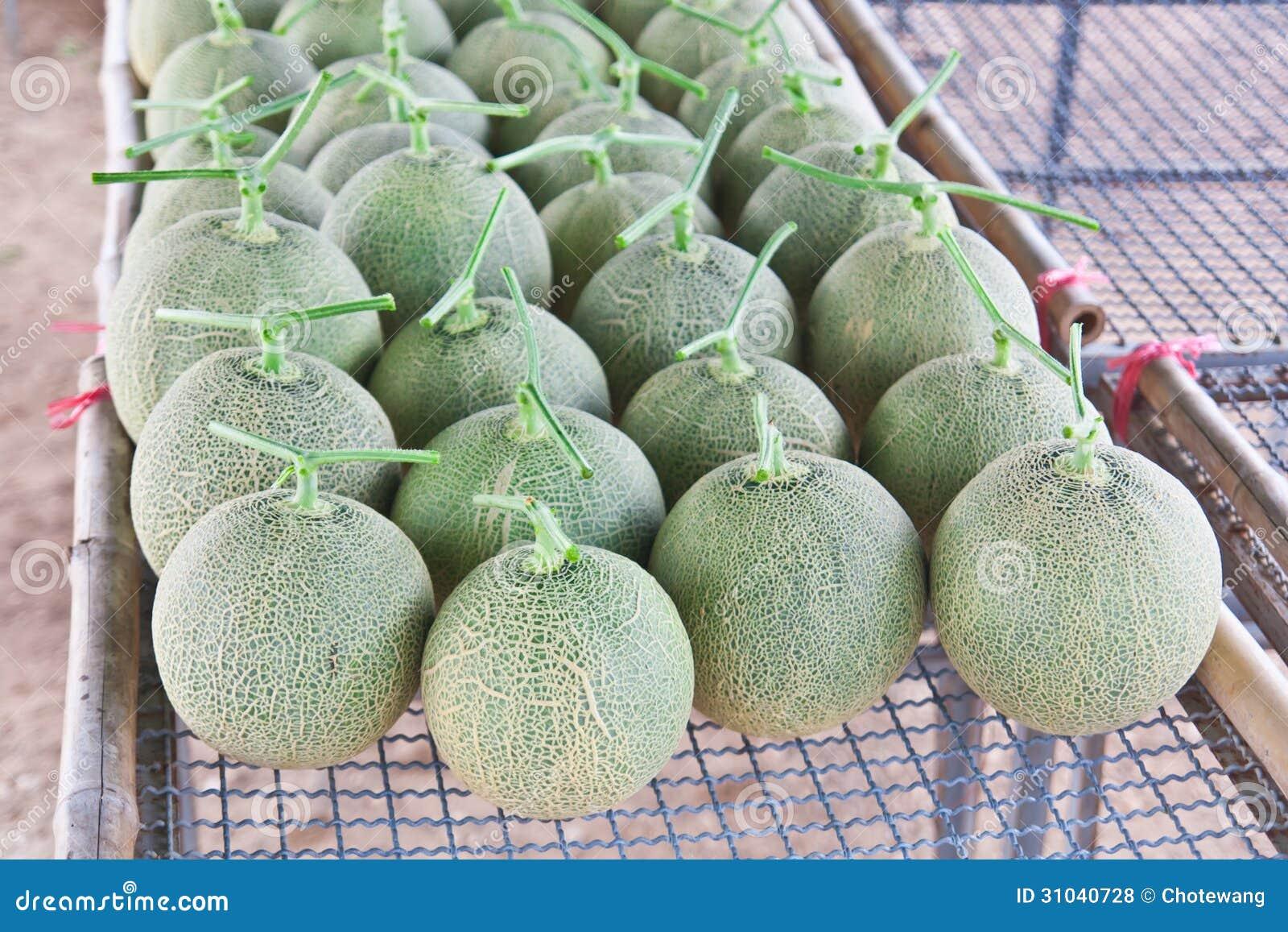 Collocate zbierający Japońscy melony