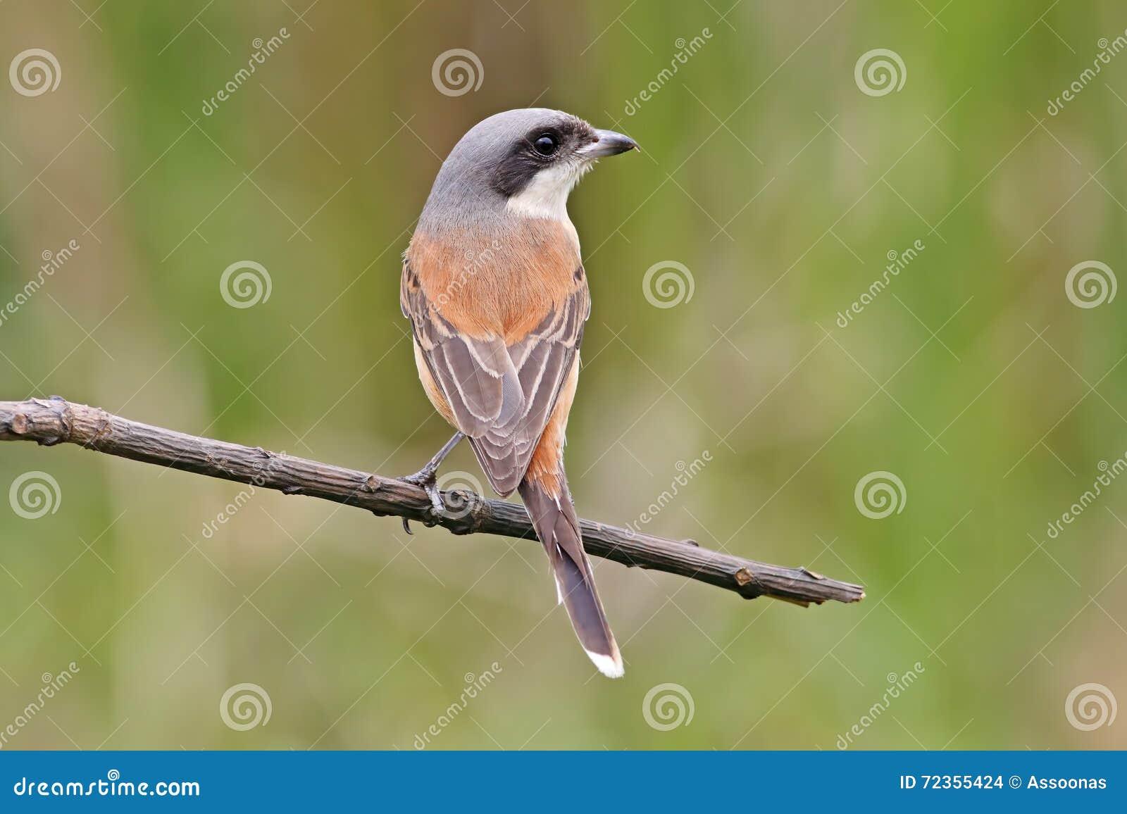 缅甸人伯劳拉尼厄斯泰国的collurioides鸟