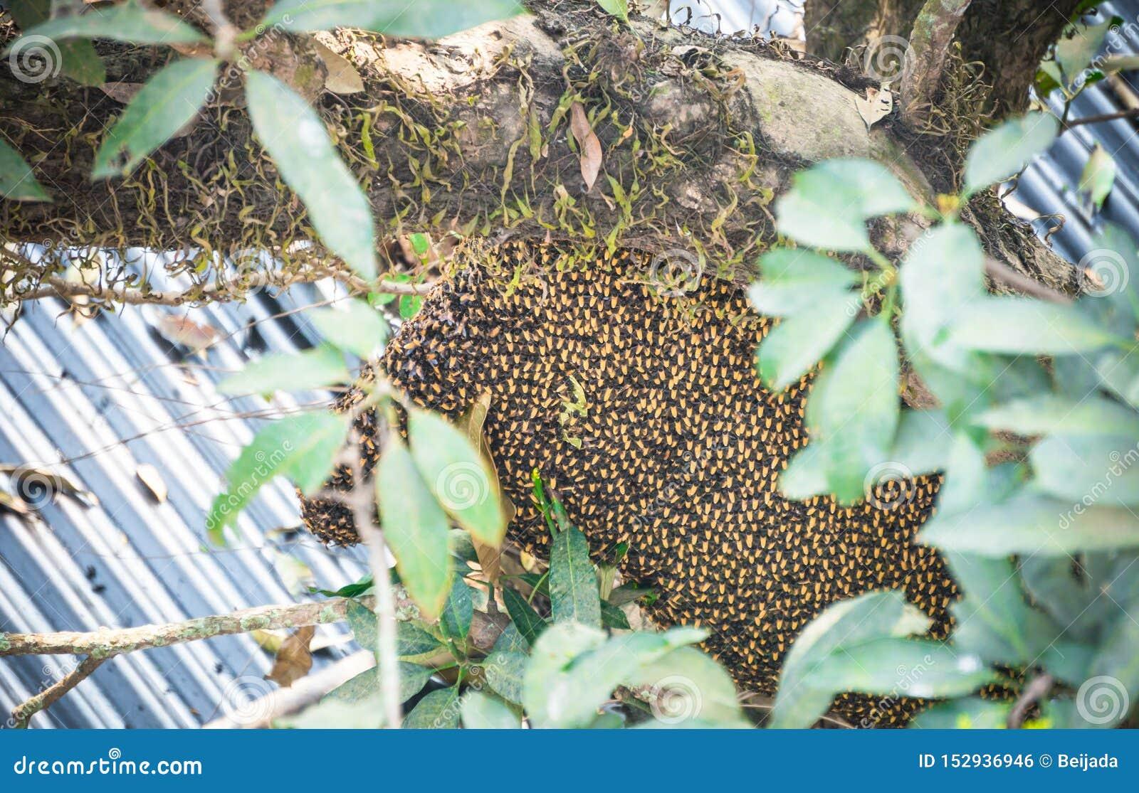 Colmena de las abejas asiáticas salvajes de la miel en árbol cerca de la casa