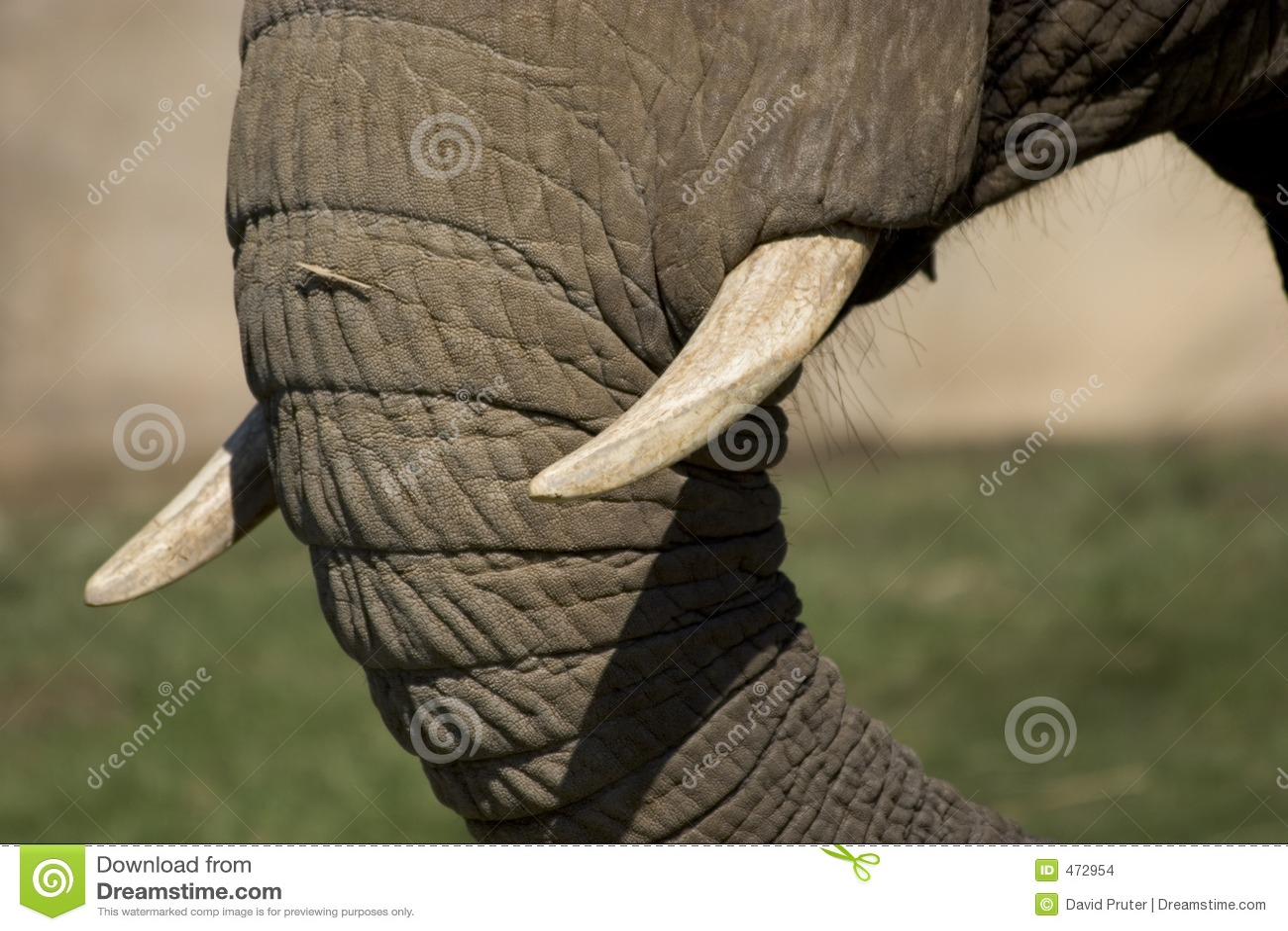 Colmillos del elefante foto de archivo. Imagen de exótico - 472954