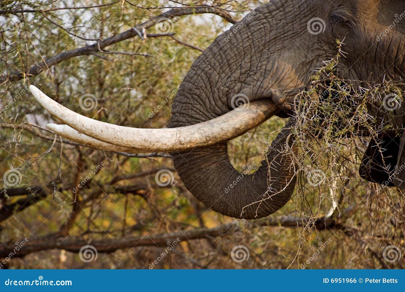 Colmillos del elefante foto de archivo. Imagen de colmillo - 6951966