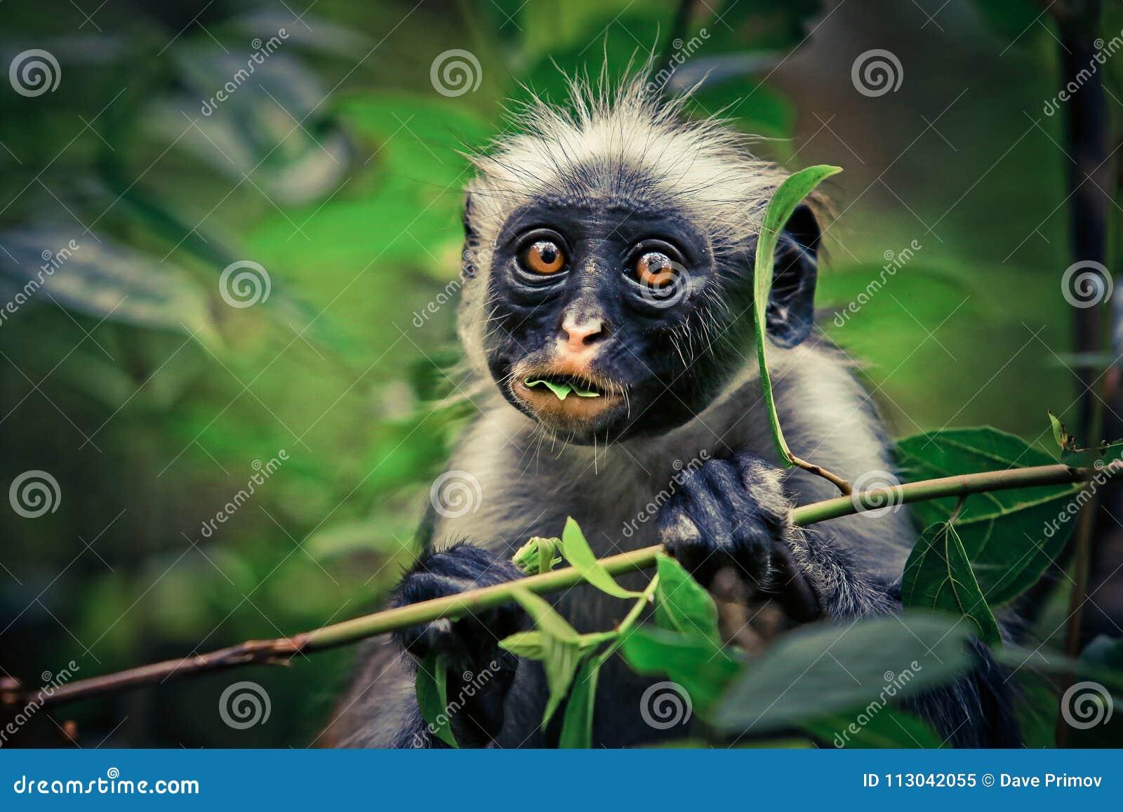 Colobus vermelho do macaco, surpresa, endêmico