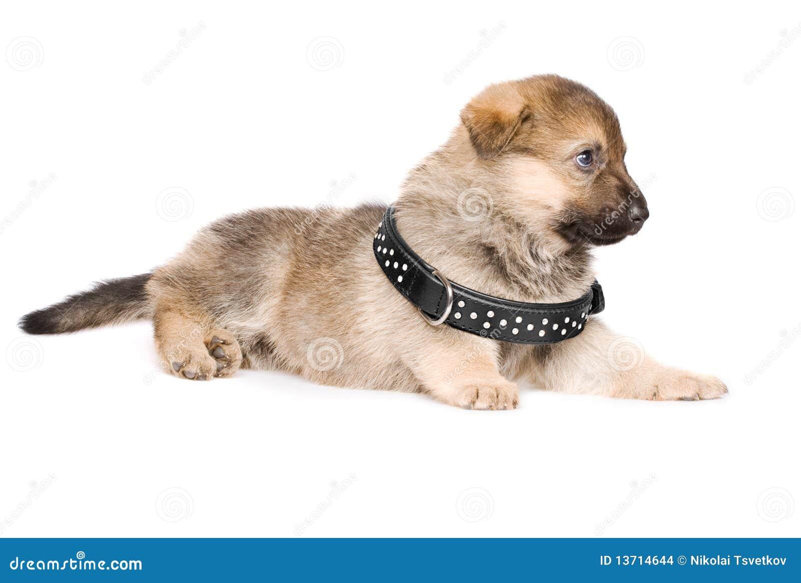 Colocación del perrito con el collar negro