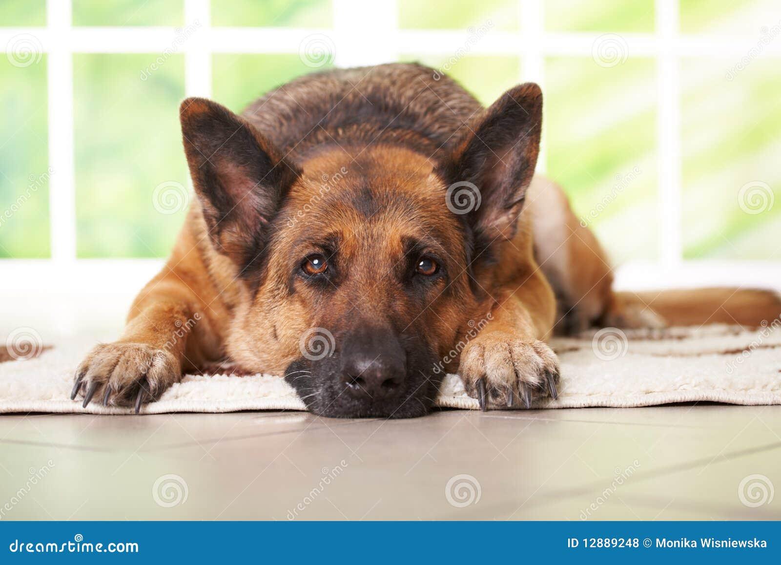 Colocación del perro de pastor alemán