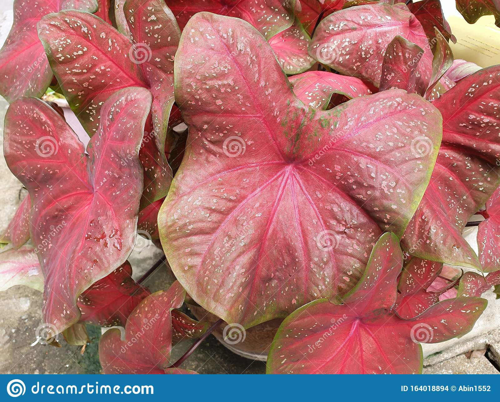 Colocasia Esculenta Plant Or Elephant Ear Plant With Waterfall In The Garden Stock Photo Image Of Green Garden 164018894