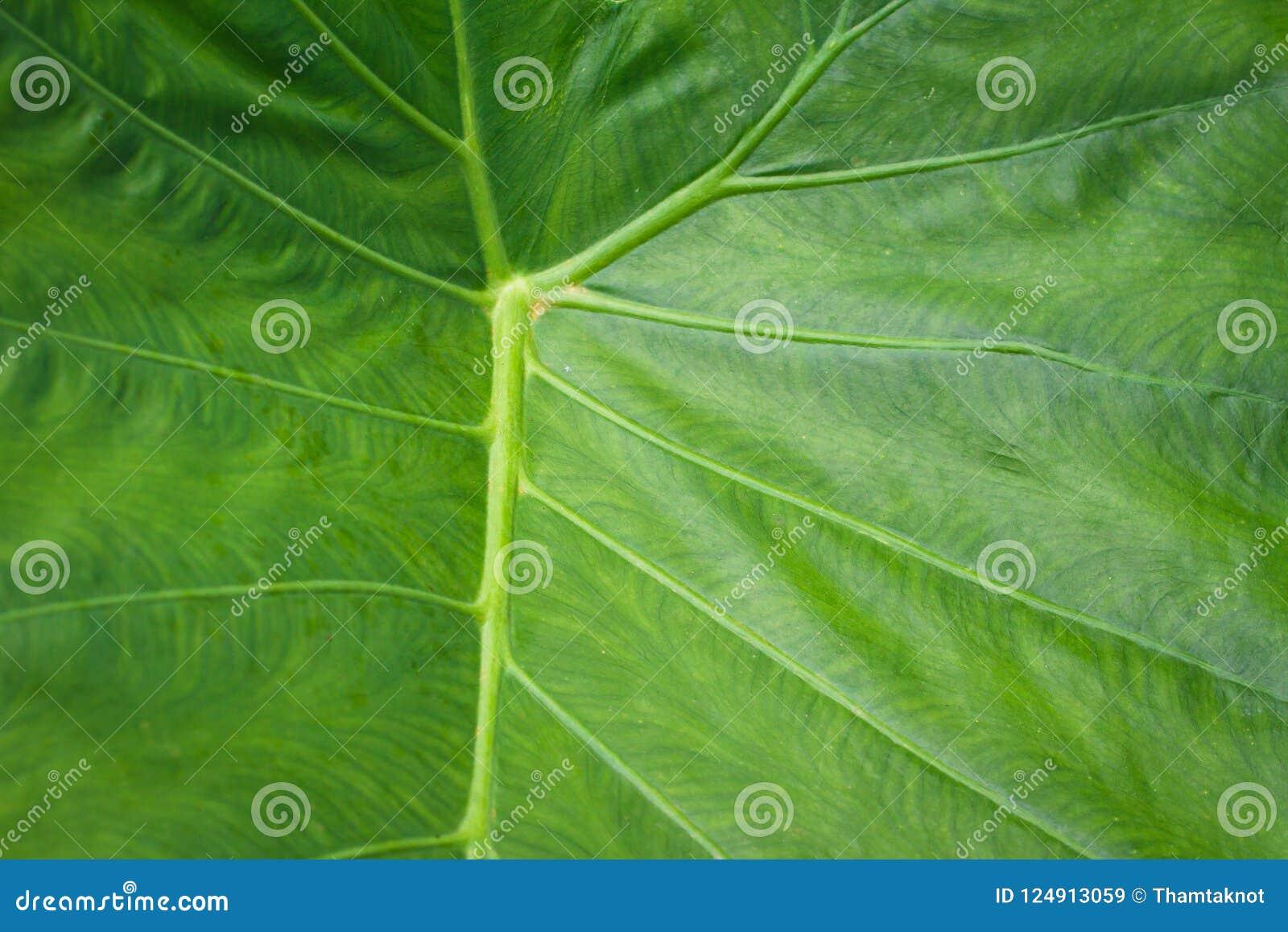 Colocasia essbares L Nährwert Schott ist, die Immunität, diuretisch, Abführmittel zu schaffen